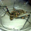 harlequin_beetle_trinidad_2