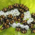 harlequin_bug_hatchlings_kathy