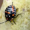 harlequin_bug_nymph