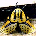 heiroglyphic_moth_costarica_mary
