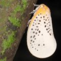 hemipteran_mexico_david