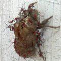 hemipteran_nymphs_cicada_skin_shannon