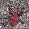hemipteran_predatory_red_south_africa