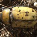 hercules_beetle_dennis