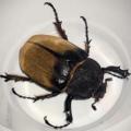 hercules_beetle_nicaragua