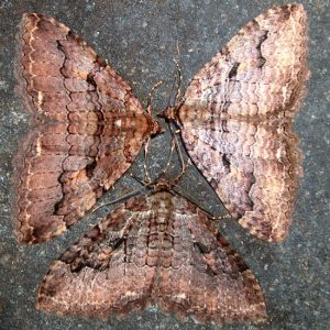 Winter Geometrid Moths