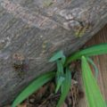 hickory_borers_mating