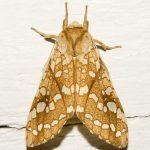 hickory_tussock_moth_kim