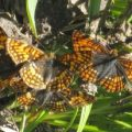 hoffmans_checkerspots_keefer