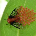 honduran_insect_eggs_karen