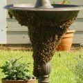 honey_bee_swarm_rebekah