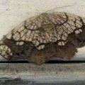 horned_spanworm_moth_jessica