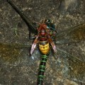 hornet_eats_dragonfly_