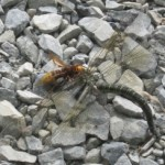 hornet_eats_dragonfly_bruce