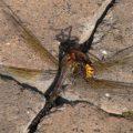hornet_kills_dragonfly_jordan