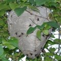 hornets_nest_frenchie