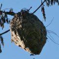 hornets_nest_hellywell