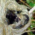 hornets_nest_laura