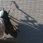 horse_fly_michigan