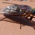 horsefly_sandi
