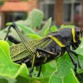Horselubber Grasshopper from Mexico