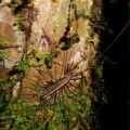house_centipede_amazon_k