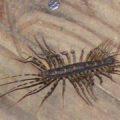 house_centipede_australia_nathan