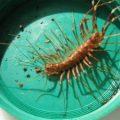 house_centipede_australia_toni