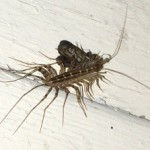 house_centipede_eats_moth_sherran