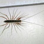 house_centipede_thailand
