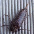 huhu_beetle_new_zealand_m