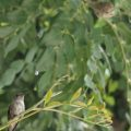 hummingbird_and_nest_20100523