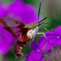 hummingbird_clearwing_az