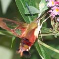 hummingbird_clearwing_brian