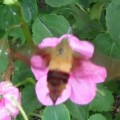 hummingbird_clearwing_ohio