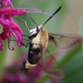 hummingbird_clearwing_paul