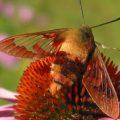 hummingbird_clearwing_terry