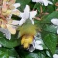 hummingbird_moth_japan_britta