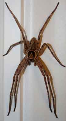 Huntsman Spider Whats That Bug