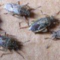 hyaline_plant_bugs