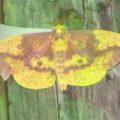 imperial_moth_dwayne