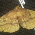 imperial_moth_jess