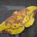 imperial_moth_massachusetts