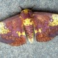 imperial_moth_michael