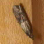indian_meal_moth_bret