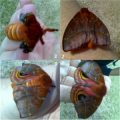 io_moth_chronology_carl