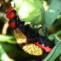 iron_cross_blister_beetle_diana