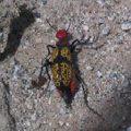 iron_cross_blister_beetle_paula