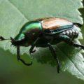 japanese_beetle_erica
