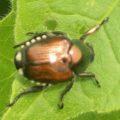 japanese_beetle_prime
